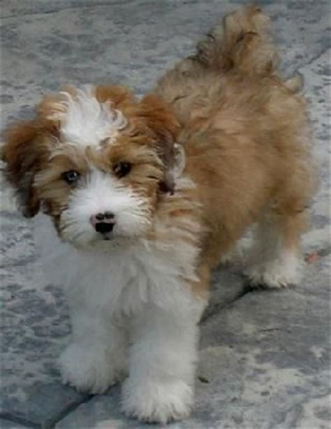 mini aussiedoodle rescue 461 best images about my doodle on