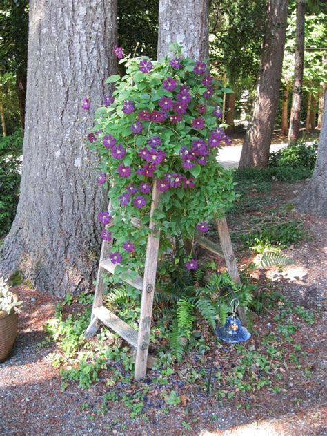 trellis florist best 25 clematis plants ideas that you will like on