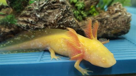 what color are albinos axolotl city different types of axolotls axolotl colors