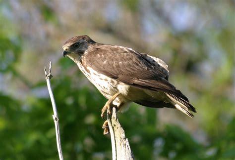 ohio bird photo collection sharp shinned hawk close up