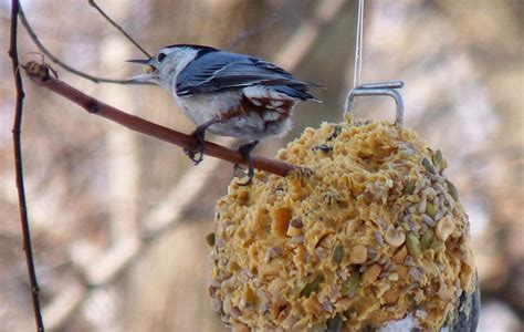 diy how to make suet winter bird feeders nuthatch with
