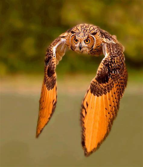 Texas Barn Owls Interesting Photo Of The Day Majestic Rock Eagle Owl In