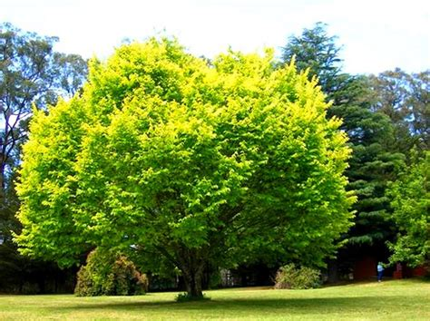 Foliage Plants For Shade - golden elm 5ft hello hello plants amp garden supplies