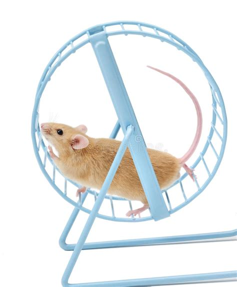 Wheels Exercise X8 Kincir Hamster Mencit mouse hamster wheel treadmill stock photo image of isolated nowhere 16805328