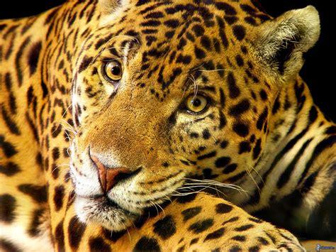 imagenes de jaguar para descargar giaguaro