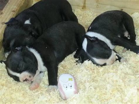boston terrier puppies for sale in california akc boston terrier puppies for sale in sacramento california classified