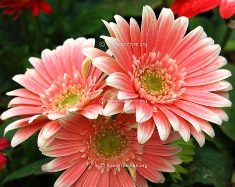 gerbera daisy varieties