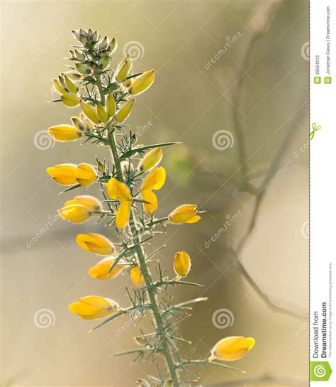 Surrounded By Gorse by Gorse Branch In Stock Photo Image 39564613