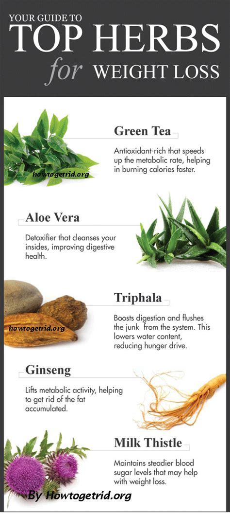 weight loss herbs infographic how herbs promotes weight loss 5 top herbs