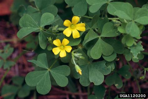 weed of the week yellow woodsorrel mississippi crop