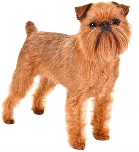 Brussels Griffon Shed by Top 30 Dogs That Don T Shed Small Medium And Large
