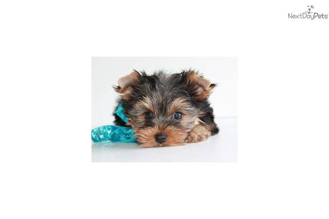 free tiny teacup yorkies tiny teacup yorkie puppies meet spunky a terrier yorkie puppy for