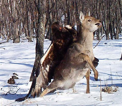 Photos: Golden eagle attacks deer