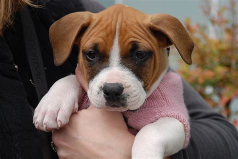 boxer puppy rescue boxer pup rocket rescue