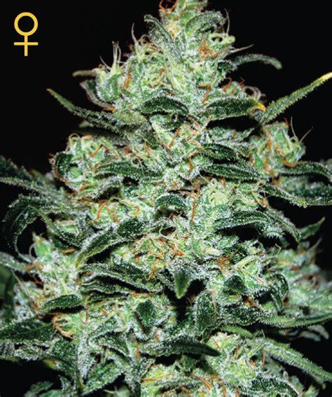 coltivare outdoor in vaso coltivare marijuana autofiorente indoor