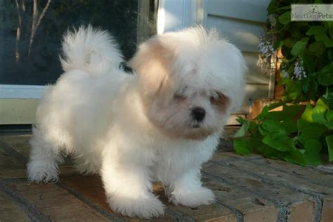 shih tzu for sale in mo siubak the shih mo american eskimo shih tzu hybrid at 8 weeks breeds picture