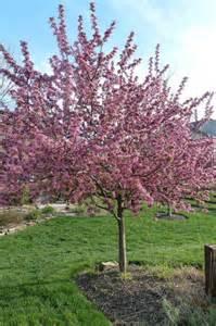 ornamental trees for zone 6 myideasbedroom com