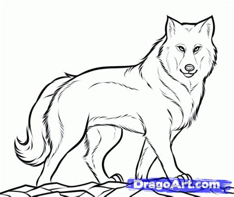 How to draw a gray wolf timber wolf step 10 1 000000138837 4 gif