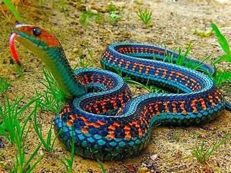 Garter Snake For Pet California Sided Garter Snake Animals And Pets