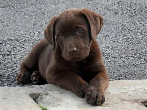 brown puppies labrador what a lil chocolate puppy http mamabearplus6 wix
