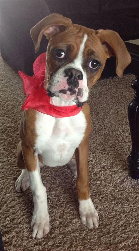 baby boxer white baby boxer www pixshark images galleries with a bite