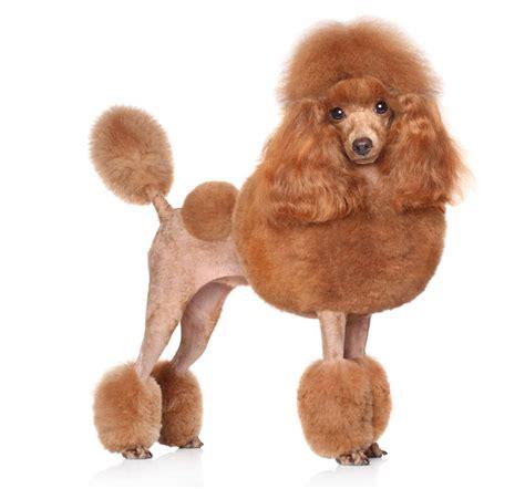 mini poodle information poodle dogs breed information omlet