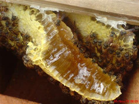 Bibit Lebah Madu ternak lebah lokal di jawa tengah ternak klanceng lebah madu di jawa tengah