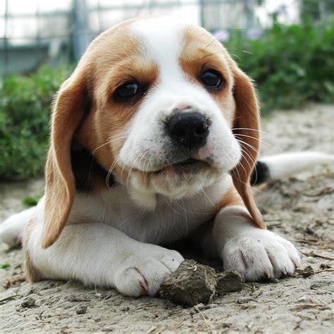 beagle alimentazione prenota il tuo cucciolo allevamento di casa calbucci