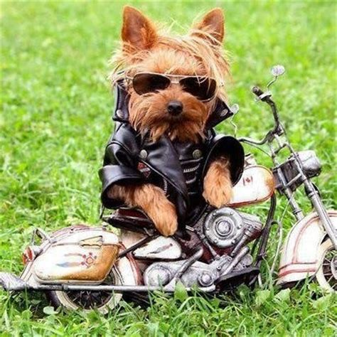 yorkie on motorcycle come on lets ride i so want a motorcycle