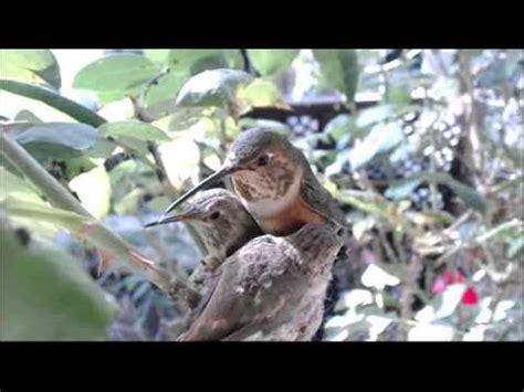 01272013 phoebe allens hummingbird nest cam we re still