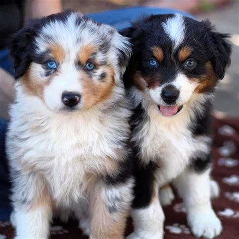 aussie puppies cuteness love  aussie puppies