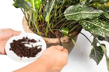 Coffee Grounds For Gardening by Coffee Grounds For Gardening 8 Different Uses