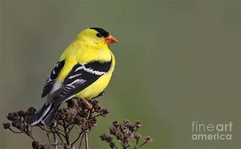 Golden Bird golden bird photograph by mircea costina photography