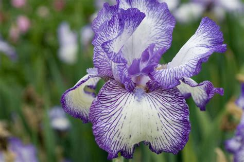 iris fiori iris flower meanings hgtv