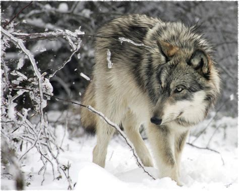 wolf gray paint grey wolf painting www pixshark images galleries with a bite