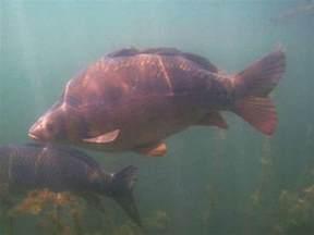carpes du salagou observations sous la surface de l eau
