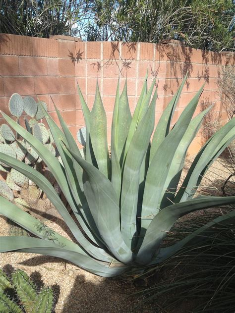 Pima County Search Agave Agave Weberi Fungus Or Scale And Treatment Ask An Expert