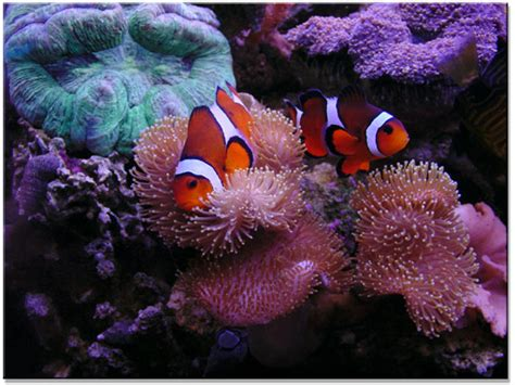 anemone eat clownfish clownfish eating www imgkid the image kid has it