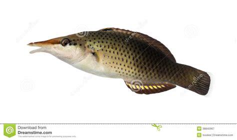 bird wrasse aquatic veterinary services of northern bird wrasse female gomphosus varius stock photo image