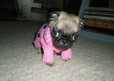 why were pugs bred with snouts 1000 images about pug on free dogs clothes patterns and pattern