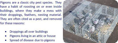 how to catch pigeons for how to catch a pigeon in the attic roof ceiling house wall shed yard