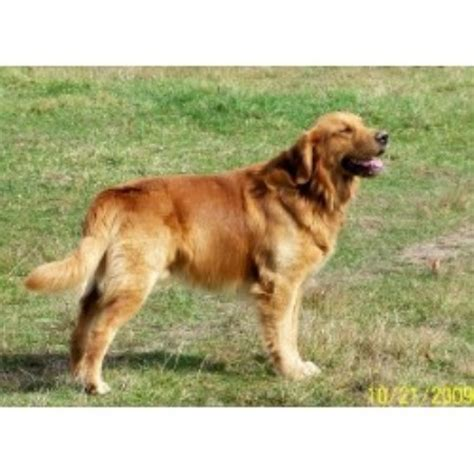 golden retriever south dakota retrievers south dakota breeds picture