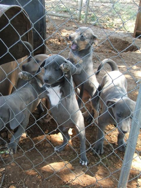 puppies for sale wichita falls tx puppies for sale breeds picture