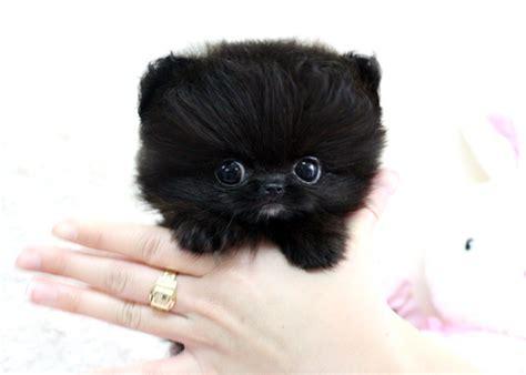 cutest teacup pomeranian kawaii teacup teacup pomeranian puppy image 430087 on favim