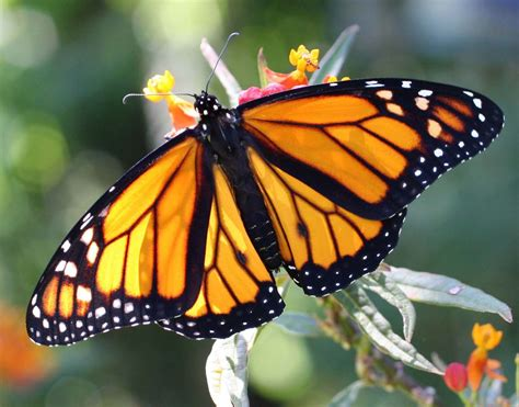 monarch butterfly my monarch guide monarch butterfly milkweed mania is my