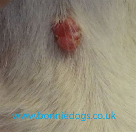 warts on dogs lumps bumps and warts in dogs post caring measuring and grooming