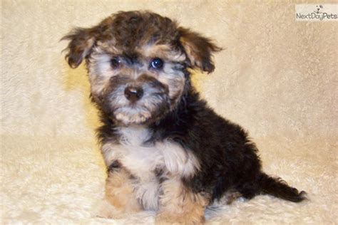 yorkie poo puppies for sale in bc yorkiepoo yorkie poo puppy for sale near st louis missouri 33f1b516 3131