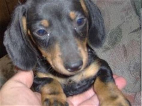 miniature dachshund puppies for sale in oklahoma dachshund puppies in oklahoma