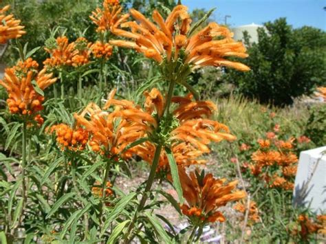 orange flower shrub 17 best images about xeriscape on orange