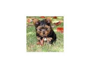 yorkie puppies for sale in lubbock tx terrier puppies in